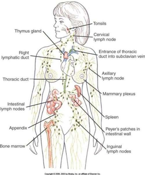 lymphatic-system-lymph-nodes-54bf21348d2d6-704x854
